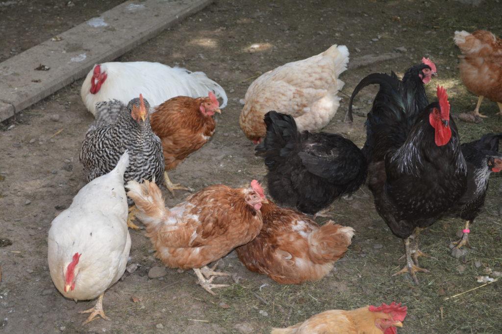 Alte Hennen erneuern ihre Federn